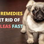 Home Remedies to Get Rid of Fleas on Dogs Fast