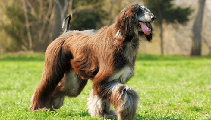 How Fast Can Dogs Run - afghan hound