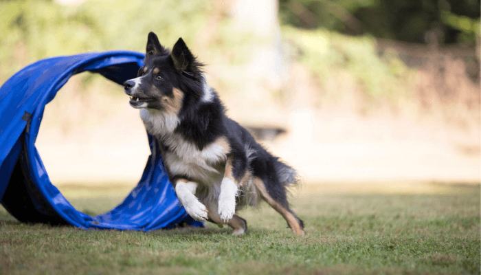 How Fast Can Dogs Run - Border Collie