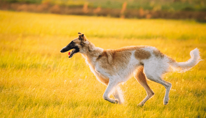 How Fast Can Dogs Run - Borzoi