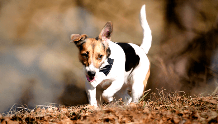 How Fast Can Dogs Run - Jack Russell Terrier