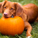 Pumpkin benefits for dogs
