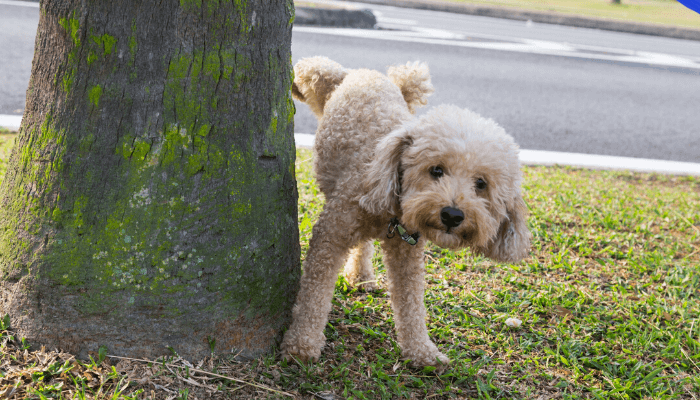 How to Stop Dog From Excited Peeing