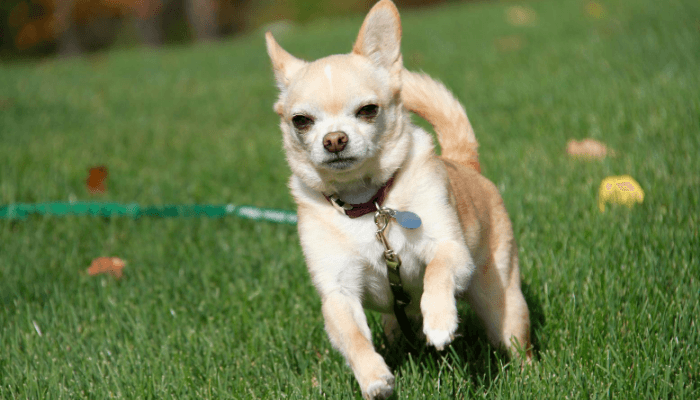 How Fast Can Dogs Run - Chihuahuas