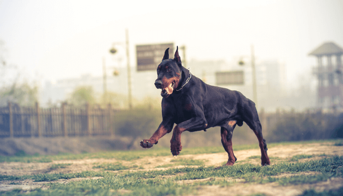 How Fast Can Dogs Run - Doberman Pinscher