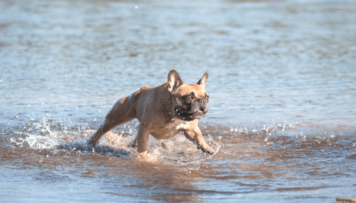 How Fast Can Dogs Run - French Bulldog
