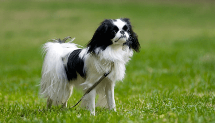 How Fast Can Dogs Run - Japanese Chin