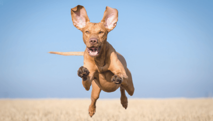 How Fast Can Dogs Run - Vizsla